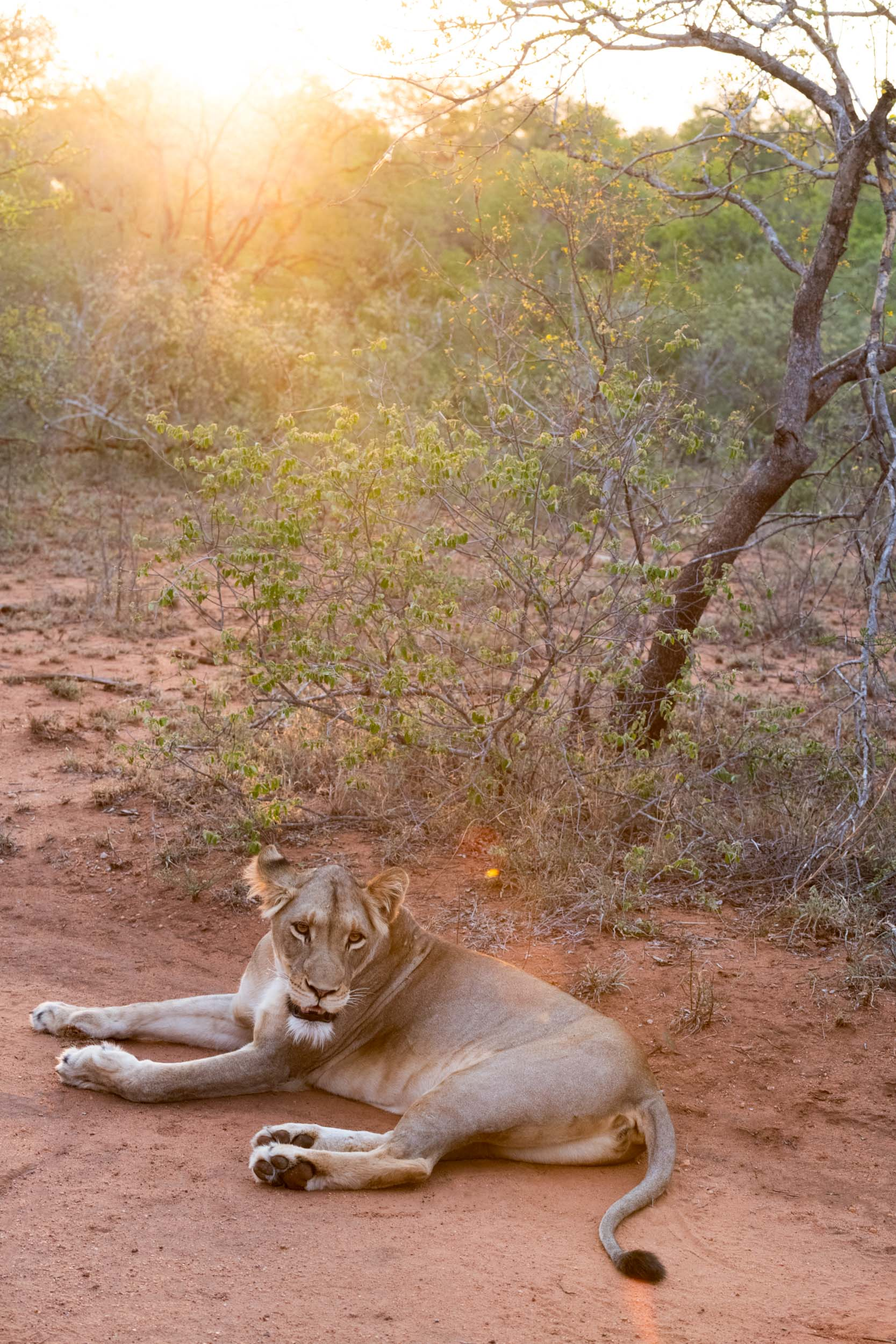 Morgan Ione | NYC + Chicago + Milwaukee Travel and Lifestyle Photographer - African Lion Safari