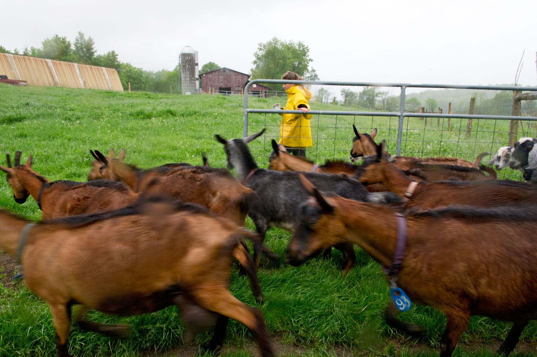 NYC + Chicago Agriculture Photographer - Consider Bardwell Farm Goats in rain