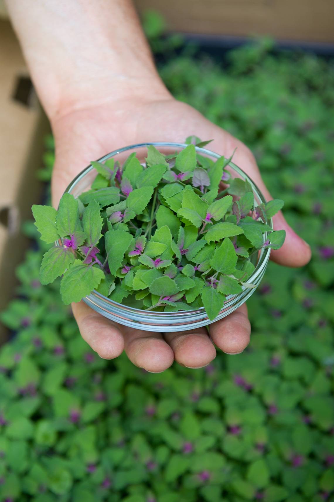 Photo by Morgan Ione Yeager, NYC Food photographer, food photo shoot, Good Water Farms, Micro greens, salad, recipe, Eat Real Food NYC, Farm Photography, East Hampton
